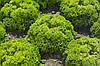 Семена салата Лоренцо 5000 сем.Рийк цваан.
