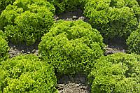 Семена салата Лоренцо 5000 сем.Рийк цваан., фото 1