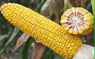 Семена гибрида кукурузы Солонянский 298 СВ- высочайшая устойчивость к засухе