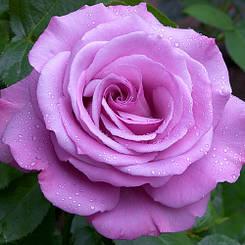 """Троянда чайно-гібридна """"БЛАКИТНИЙ НІЛ"""" ('Blue Nile')"""