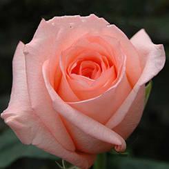 "Троянда чайно-гібридна ""АНГАЖЕМЕНТ"" ('Engagement')"