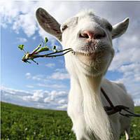 Фотообои коза довольная