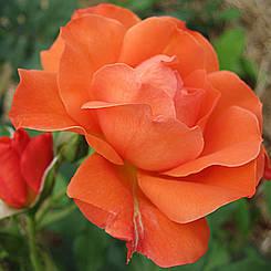 "Троянда чайно-гібридна ""АНЖЕЛІКА"" ('Angelique')"