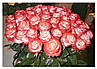 "Троянда чайно-гібридна ""БЛАШ"" ('Blush'), фото 5"