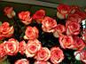 "Троянда чайно-гібридна ""БЛАШ"" ('Blush'), фото 2"