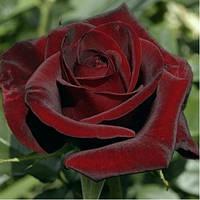 Роза чайно-гибридная Чёрная Магия