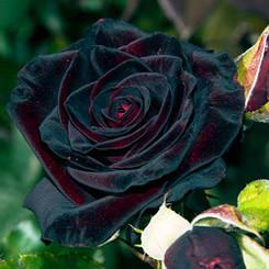 "Троянда чайно-гібридна ""БЛЕК БАККАРА"" ('Black Baccara')"