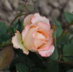"""Троянда чайно-гібридна """"ДУЕТ"""" ('Duett')"""
