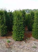 Тис ягодный Taxus baccata 100\125см питомник SAD.UA