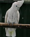 Соломонский какаду Cacatua ducorpsii, фото 2