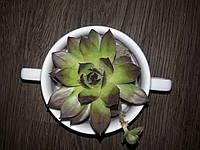 Моно суккулент в керамике Эхеверия