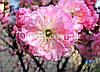 Миндаль ПЛЕНА (Plena) / (Amygdalus Plena triloba)