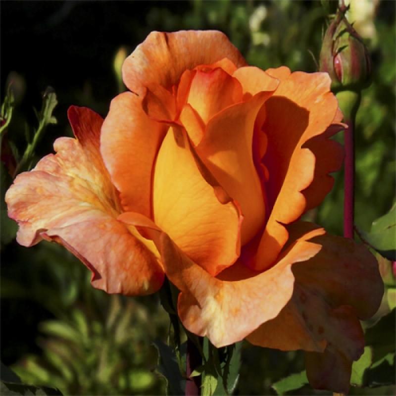 "Троянда чайно-гібридна ""ЛУЇ ДЕ ФЮНЕС"" ('Louis de Funes')"