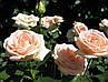 """Роза чайно-гибридная """"ОСИАНА"""" ('Osiana'), фото 4"""