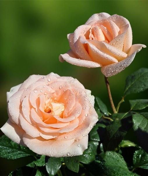 """Роза чайно-гибридная """"ОСИАНА"""" ('Osiana')"""