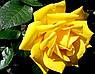 "Троянда чайно-гібридна ""СТАРЛАЙТ"" ('Starlite'), фото 2"