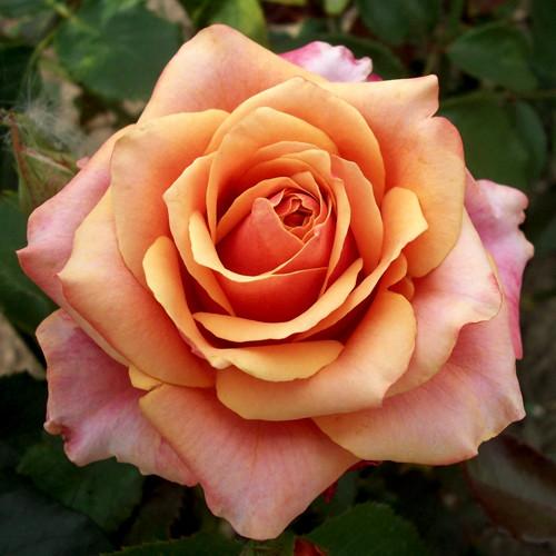 "Троянда чайно-гібридна ""ЧЕРІ-БРЕНДІ"" ('Cherry Brandy')"
