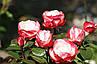 """Троянда чайно-гібридна """"НОСТАЛЬЖІ"""" ('Nostalgie'), фото 9"""