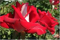 Саженцы роз Альянс, чайно-гибридная роза