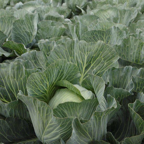Семена средне-поздней капусты б/к Эластор F1 (2500 сем.) Syngenta