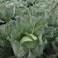 Семена средне-поздней капусты б/к Эластор F1 (2500 сем.)