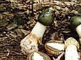 Настоянка Веселка звичайна 250 мл, фото 2