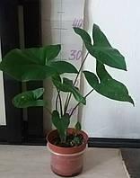 Сингониум. Комнатное растение.