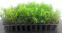 Туя западная Смарагд в касете 100 шт (Thuja occidentalis Smaragd ), фото 1