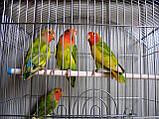 Попугаи Неразлучники. (Пятнистый), фото 10