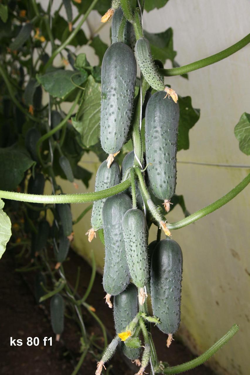 Семена огурца KS 80 F1 (КС 80) 250c