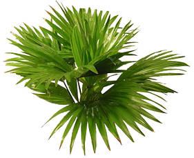Семена цветов Пальмы