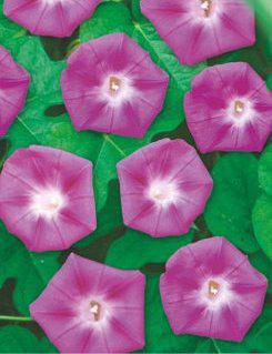 Ипомея Пурпурная смесь однолетник (имп)