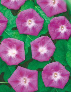 Ипомея Пурпурная смесь однолетник (имп), фото 2