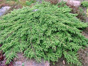 Можжевельник Обыкновенный Green Carpet / Juniperus chinensis Green Carpet, фото 2