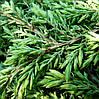 Можжевельник Обыкновенный Green Carpet / Juniperus chinensis Green Carpet, фото 3