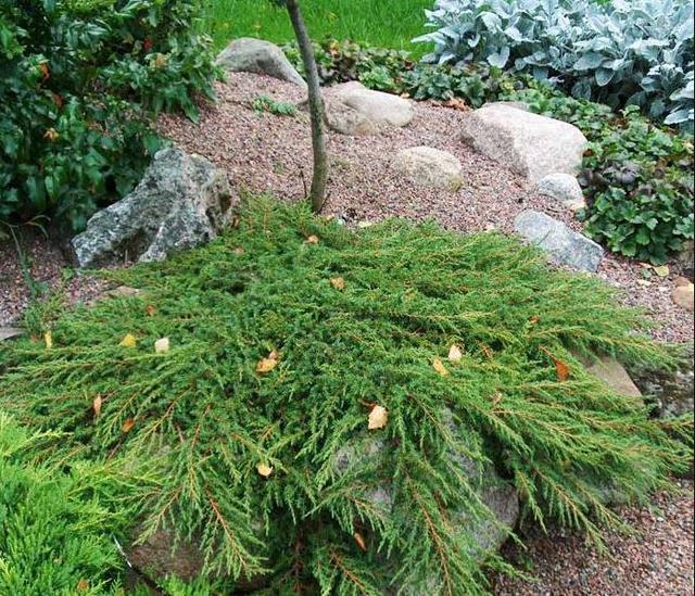 Можжевельник Обыкновенный Green Carpet / Juniperus chinensis Green Carpet (в ландшафте)