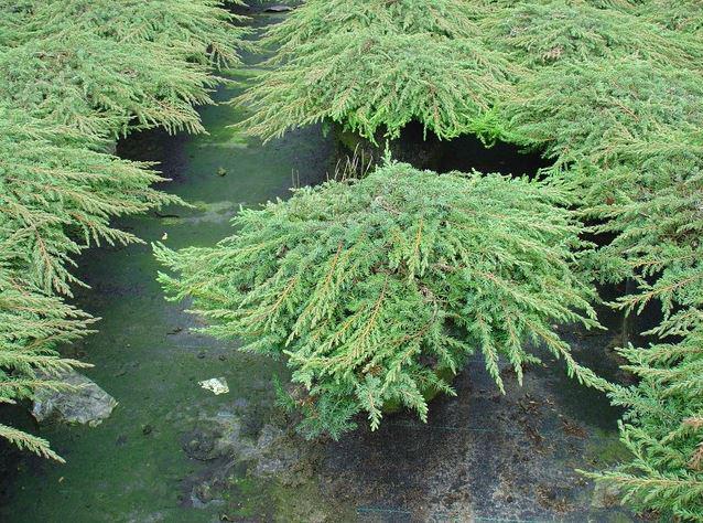 Можжевельник Обыкновенный Green Carpet / Juniperus chinensis Green Carpet (фото 4)