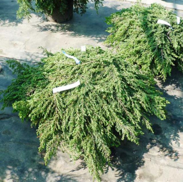 Можжевельник Обыкновенный Green Carpet / Juniperus chinensis Green Carpet (фото 5)