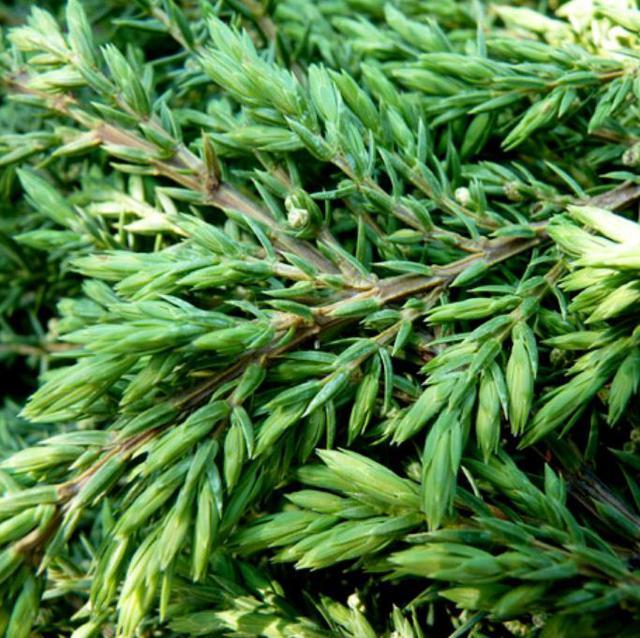Можжевельник Обыкновенный Green Carpet / Juniperus chinensis Green Carpet (хвоя)