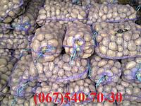 Семенной картофель ЛАУРА. ЭЛИТА
