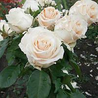 Саженцы роз Талея (чайно-гибридная бело-розовая)