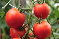 Насіння томату Айвенго F1 (1000 н)