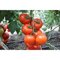Насіння томату Беллавіза F1 / Bellavisa RZ F1 (1000 н)