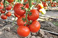 Насіння томату Чінто F1 / Cinto RZ F1 (1000 н)