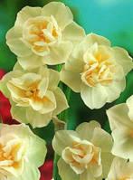 Луковицы многоцветковых нарциссов Cherfulness 2 шт