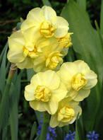 Луковицы многоцветковых нарциссов Yellow Cherfuhess 2 шт
