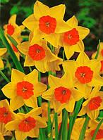 Луковицы многоцветковых нарциссов Suzy 2 шт