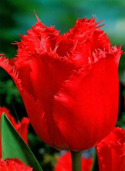 Цибулини тюльпанів оторочений Red Wing 3 шт