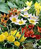 Луковицы тюльпанов ботанических