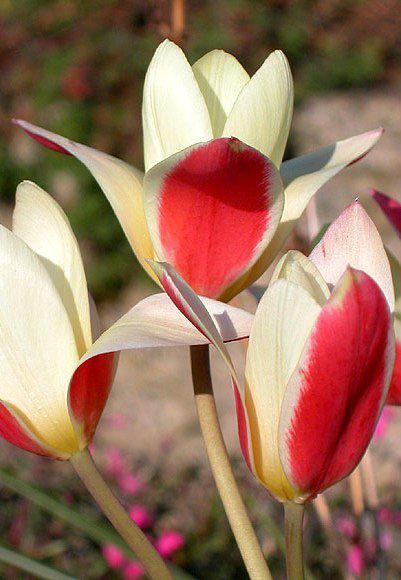 Луковицы тюльпанов ботанических Tinka 5 шт